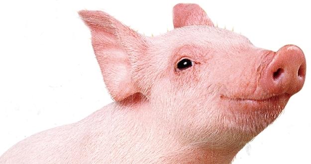 '돼지같이'가 어때서? 나 알고 보면 신성해!