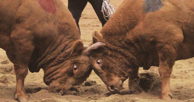 싱거운 듯 우직하게, 굼뜬 듯 날렵하게 1톤짜리 소들의 '밀치기' 한판